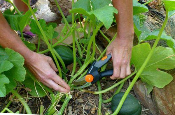 Необходимо делать прищипку на основном стебле тыквы