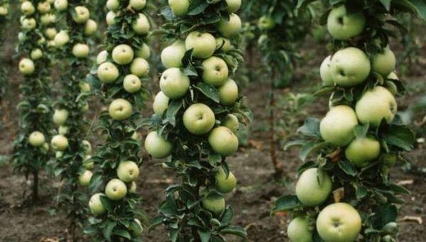 Яблоня Диалог дает урожай на второй год жизни