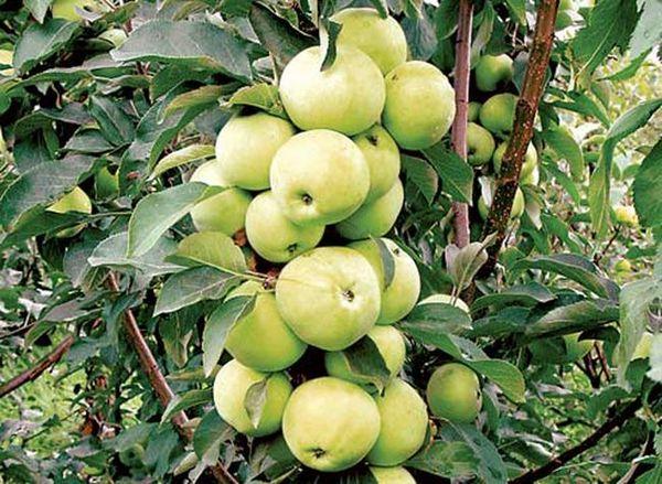 Урожай яблок Диалог собирают во второй половине июля
