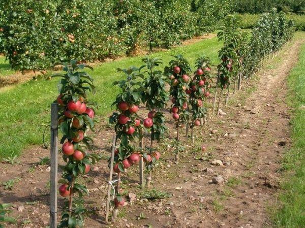 Одна яблоня Арбат занимает примерно полметра
