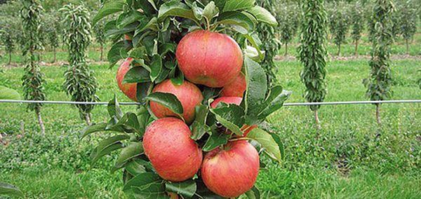 Колоновидные яблони начинают плодоносить уже на 2 год