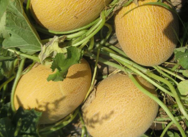 Дыню Кредо можно выращивать рассадным методом