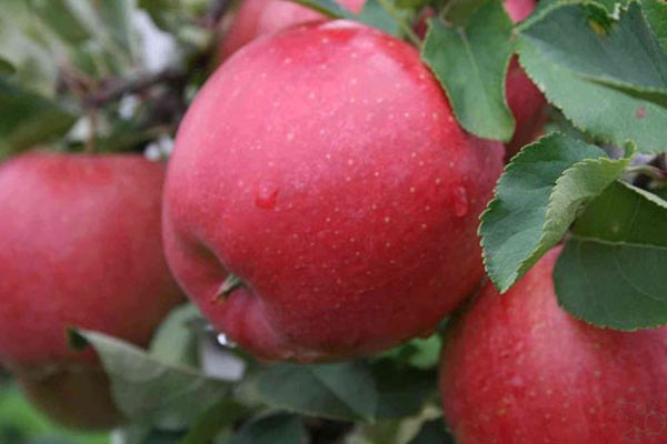 Собирать яблоки Афродита можно с середины сентября