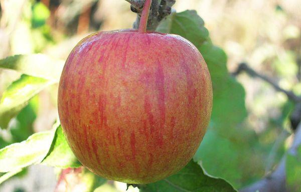 Сорт Винное устойчив перед яблоневой плодожоркой