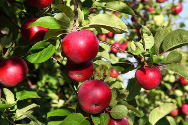 Созревание яблок Макинтош начинается в сентябре