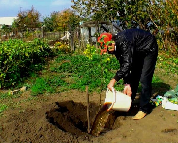 Яма после высадки яблони обильно поливается