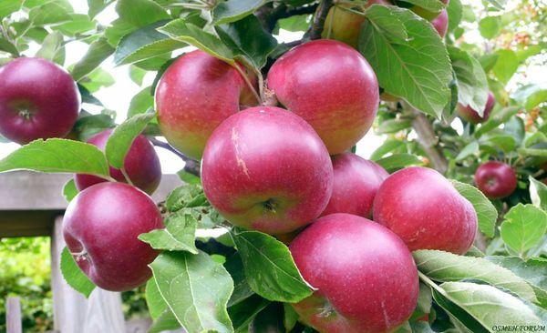 Плоды сорта Легенда достигают 150–200 г