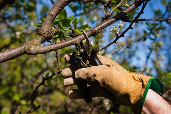 В марте необходимо провести санитарную обрезку вишни