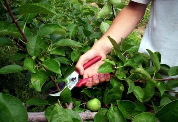 Обрезка яблони начинается с первого года посадки