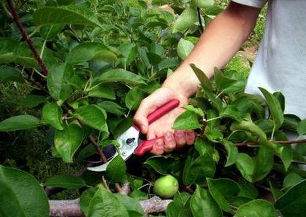 Необходимо обрезать яблони для профилактики ржавчины