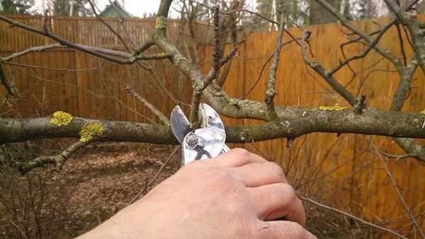 Весной яблоня Хани Крисп нуждаются в обрезке