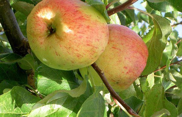 Яблоня Балтика плодоносит на 5 год
