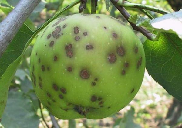 Парша поражает плоды и листья яблони