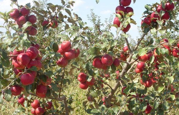 Яблоня Пинова вырастает до 3,5 м высотой