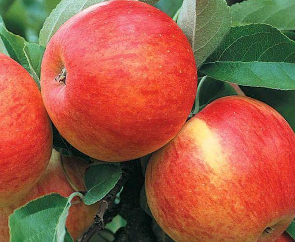 Яблоки Эрли Женева хранятся 1-2 недели