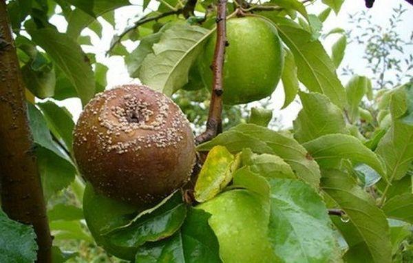 Цикл развития Монилиоза совпадает с периодом плодоношения яблонь