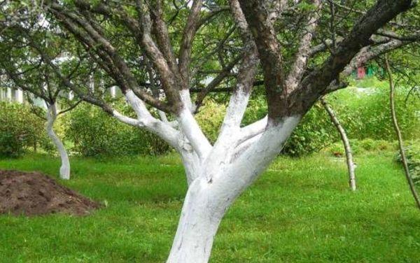 Своевременная побелка яблони - действенная профилактика черного рака