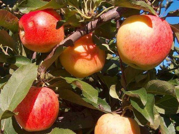 Самый первый гибрид яблок Гала- Роял Гала