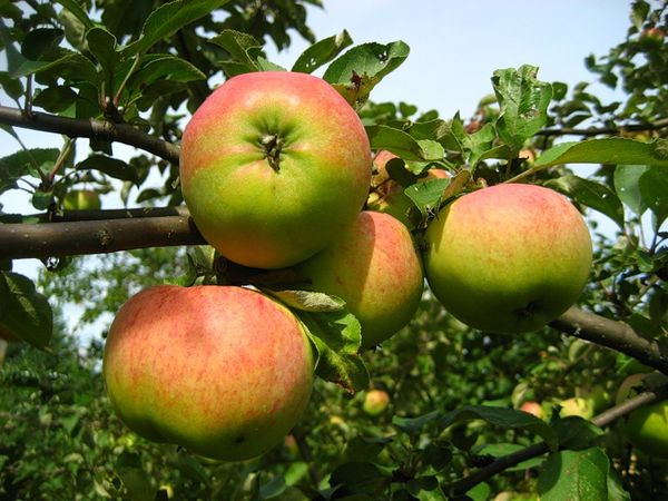 Яблоня Орловим начинает плодоносить через 3-4 года