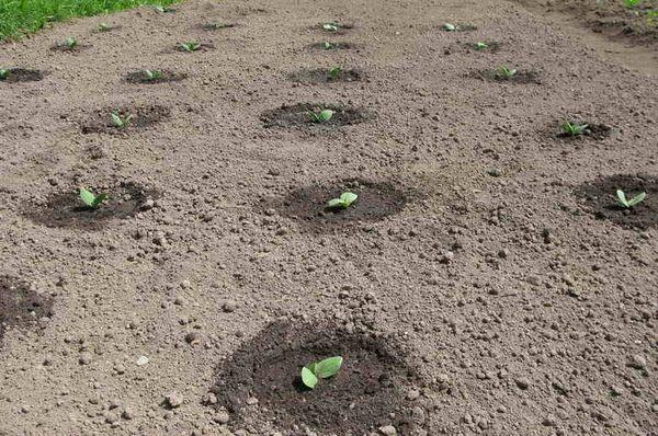 Перед посадкой тыквы землю следует вскопать