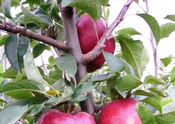 Яблоня Ред Делишес нуждается в регулярном поливе