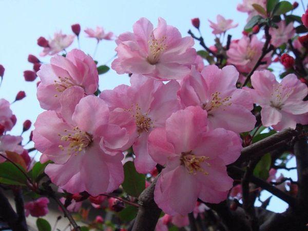 Сорт вишни Сакура Паян