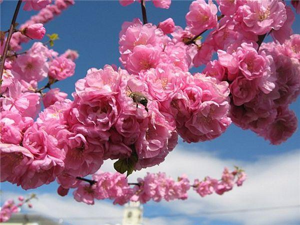 Мелкопильчатая или японская вишня больше известная как сакура