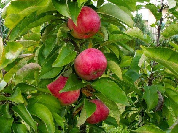 Яблоки сорта Арбат весят порядка 110 грамм