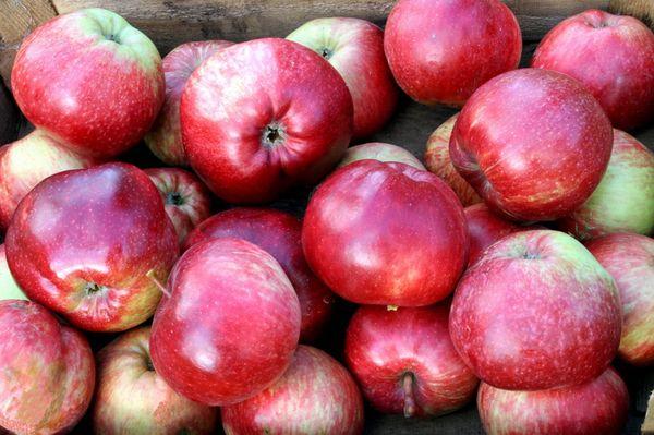Урожай яблок Легенда собирают в октябре