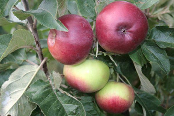 Яблоня Васюган способна выдержать морозы до -42 градусов
