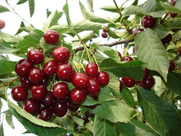 Средняя урожайность вишни Шпанка составляет 35–40 кг
