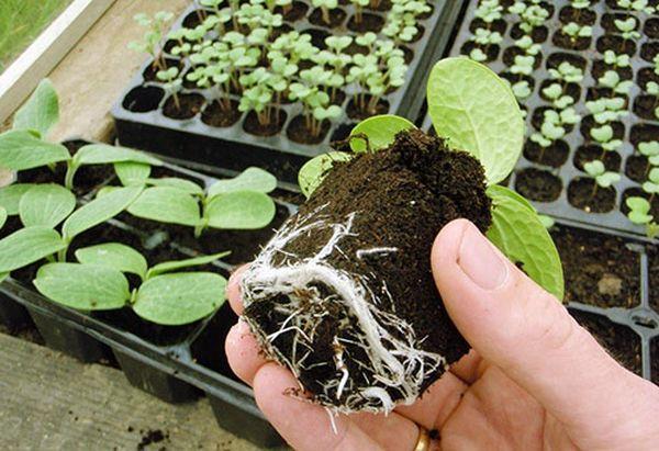 Садить тыкву нужно в самом открытом месте на огороде