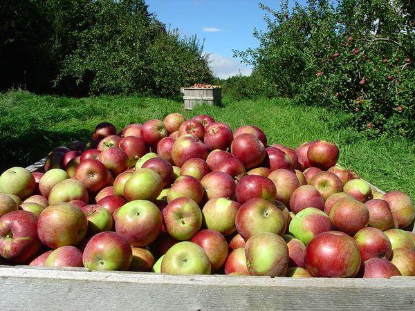 Созревшие яблоки нужно сразу же снимать с деревьев