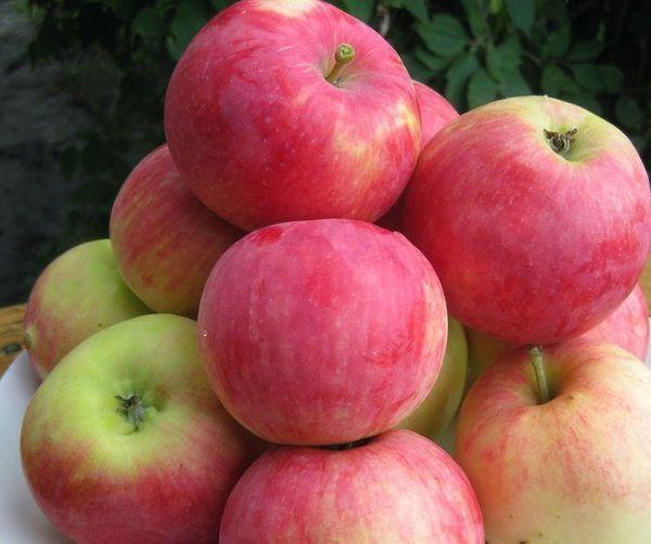 Плоды яблони Мантет созревают в конце июля