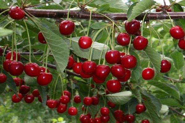 Сбор поспевших плодов Загорьевской происходит в июле-августе