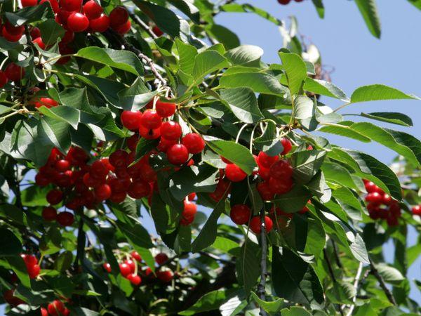 В плодоношение деревья вступают в возрасте 3–4 лет