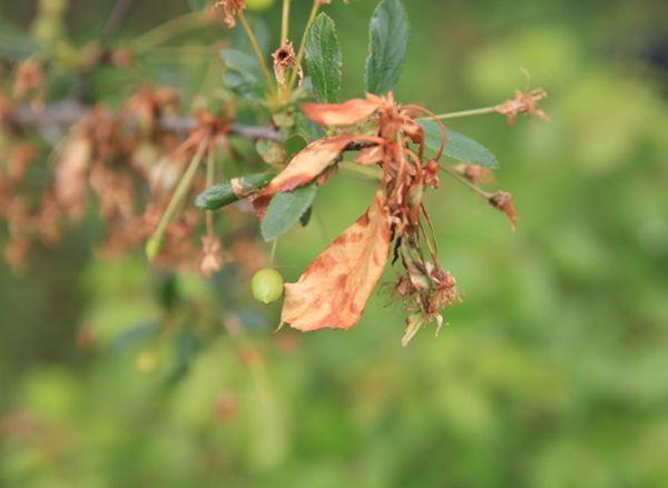 Монилиальный ожог вишни (монилиоз)