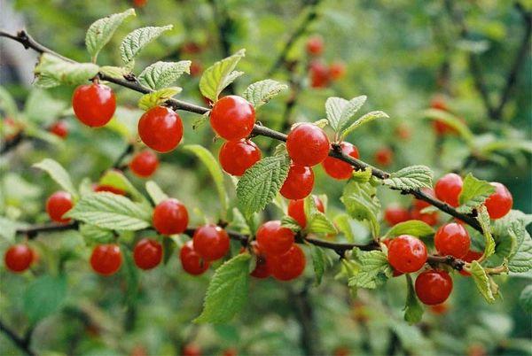 Популярный сорт вишни Войлочная