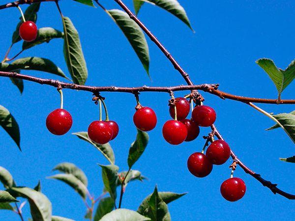 Уход за вишней весной для богатого плодоношения