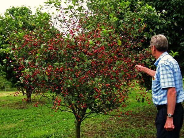 Созревают вишни через 60–65 дней после цветения