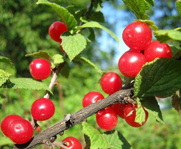 Войлочная вишня плодоносит не более 10 лет