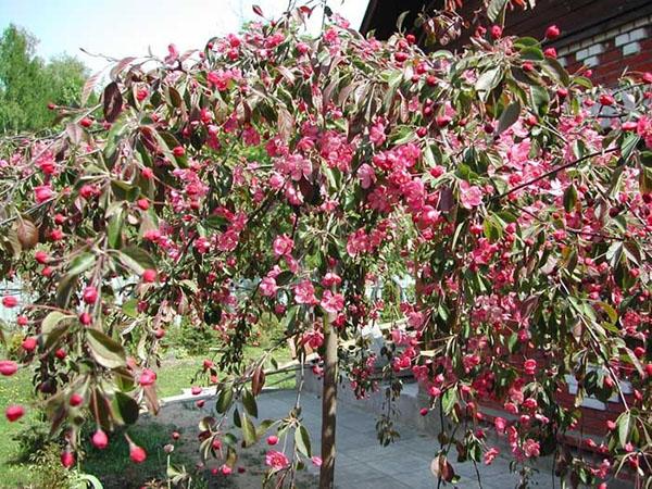 Красная Плакучая яблоня может вырасти до 12 метров