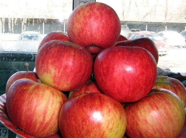 Крупный сорт яблока Апорт