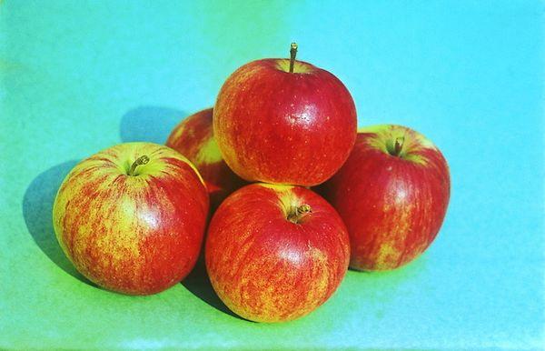 Плодоносить яблоня Бессемянка начинает достаточно рано