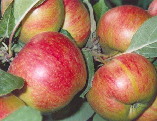Коричное новое плодоносит желтыми, с алыми разводами яблоками