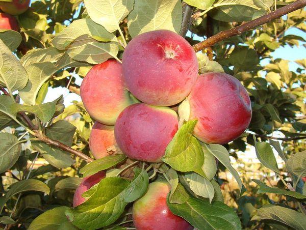 Плоды Орлика – некрупные, багрового окраса