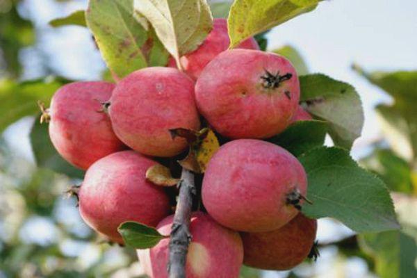 Плоды Пепин шафранный имеют сладко-винный вкус