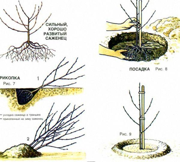 Правильная посадка плодовых деревьев