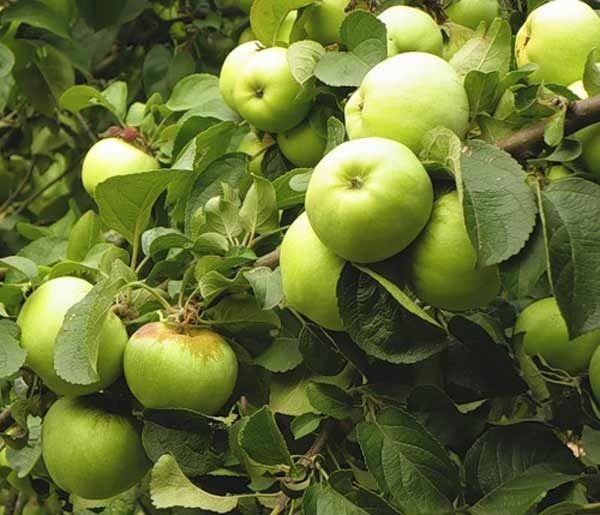 Антоновка - главный яблоневый сорт России