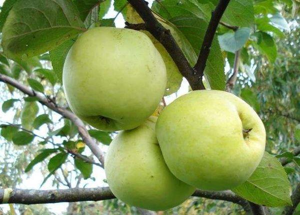Дерево начинает плодоносить на 3–4 год